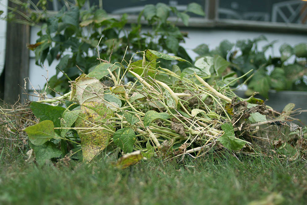 Thinning overgrown green beans end of garden season harvest